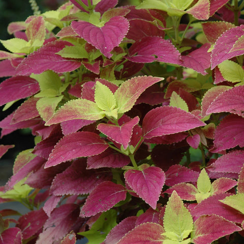 Coleus - Alabama Sunset