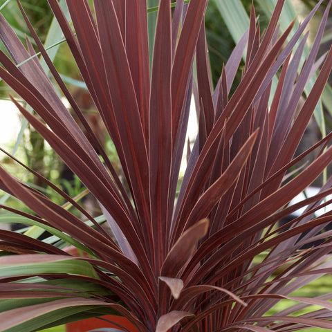 Cordyline - Red Star