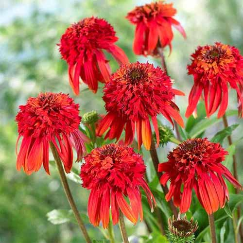 Echinacea 'Hot Papaya' (Coneflower)