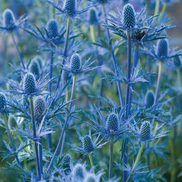 Eryngium 'Big Blue' (Sea Holly)