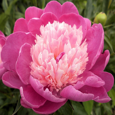 Paeonia - Gay Paree