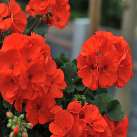 Geranium - Savannah Oh-So Orange