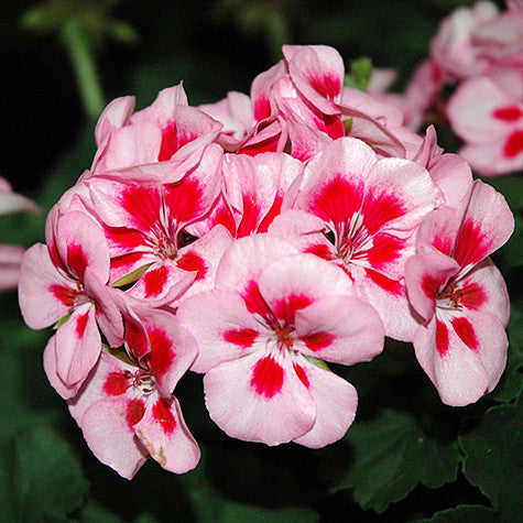 Geranium - Savannah Pink Splash