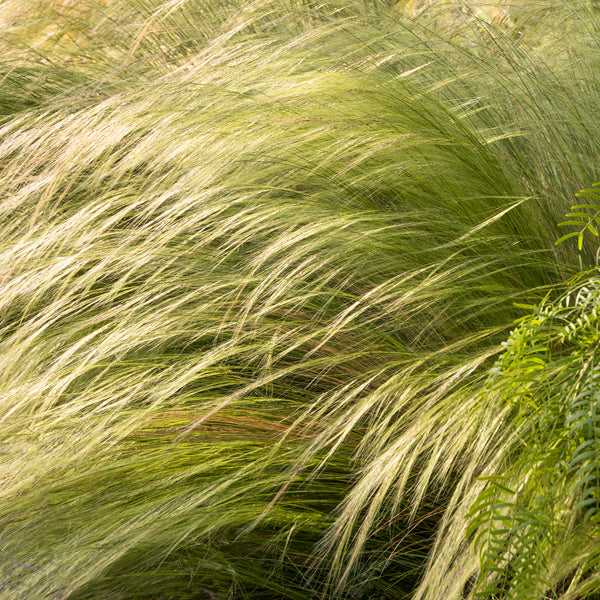 Grass - Mexican Feather