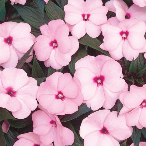 New Guinea Sunpatien Impatien - Light Pale Pink
