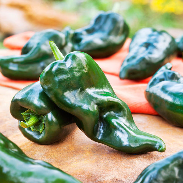 Organic Hot Pepper - Ancho Poblano