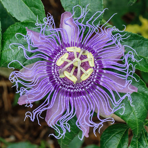 Purple Passionflower - Purple Passion Vine