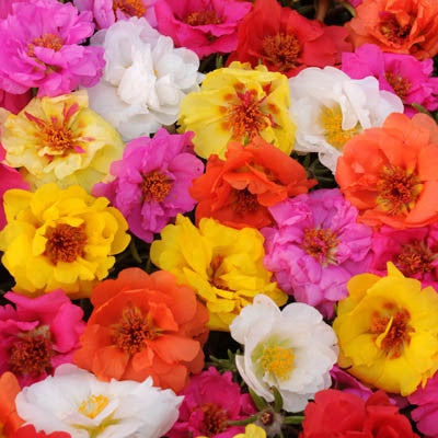 Portulaca - Happy Hour Tropical Mix