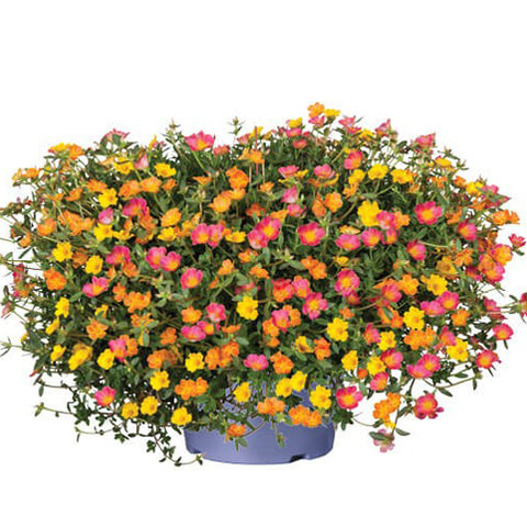 Portulaca Party Time Hanging Basket