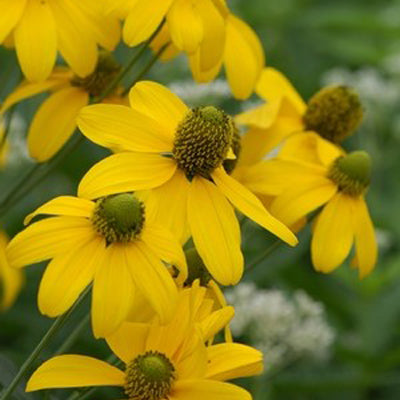 Cutleaf Coneflower - Autumn Sun