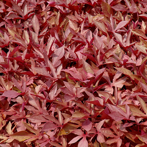 Sweet Potato Vine - Solar Power Red