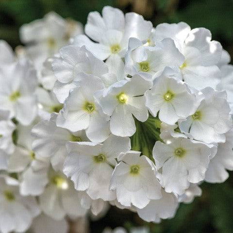 Verbena - Endurascape White Blush