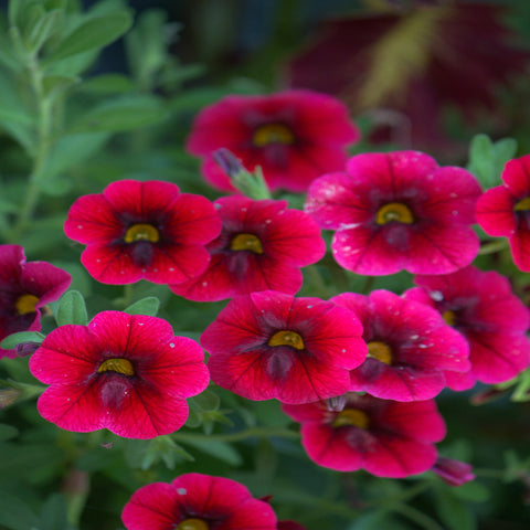 Calibrachoa - Pomegranate Punch