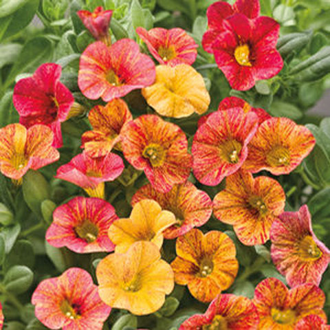 Calibrachoa - Tequila Sunrise