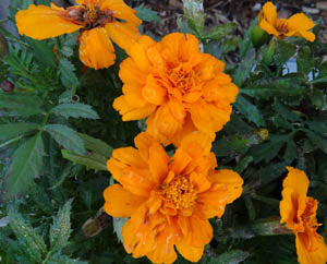It's Marigold Time Again