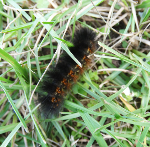 Invasion of the Woolly Bears