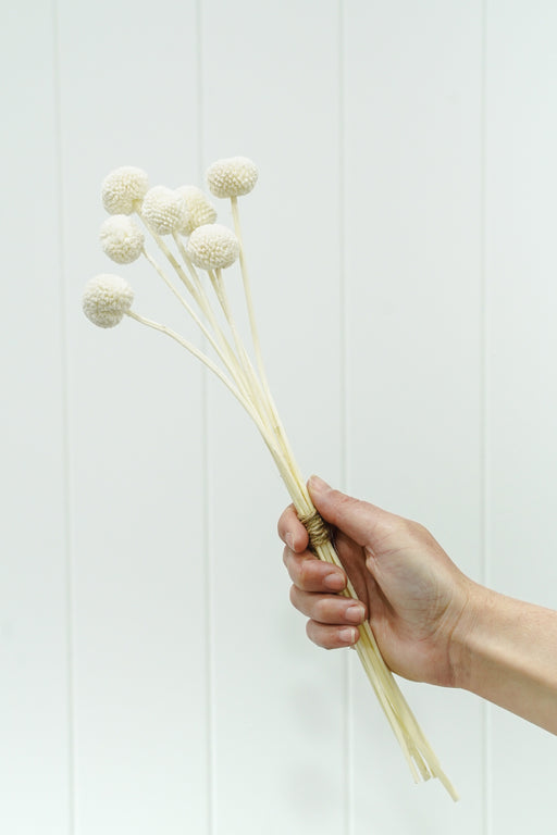 DRIED FLOWER BILLY BUTTONS WHITE