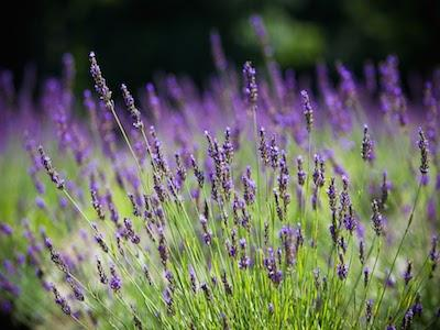 Give the Gift of Lavender