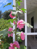 Dusky pink hollyhock flowers on stem