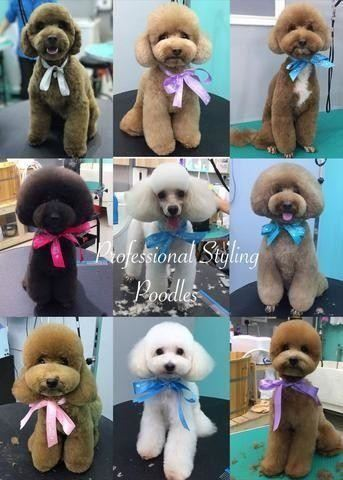 poodle pet grooming pawpy kisses singapore