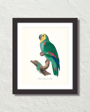 Vintage French Parrot No. 1 Art Print