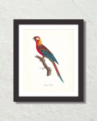 Vintage French Parrot No. 4 Art Print