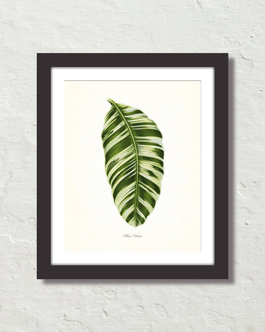 Vintage Tropical Leaf Musa Vittata No. 1 Botanical Print