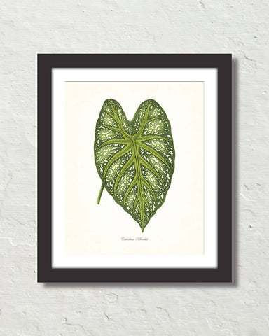 Vintage Tropical Leaf Caladium Mirabile No. 2 Botanical Print