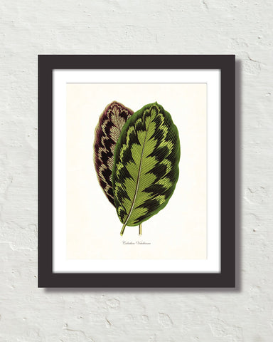 Vintage Tropical Leaf Calathea No. 5 Botanical Print