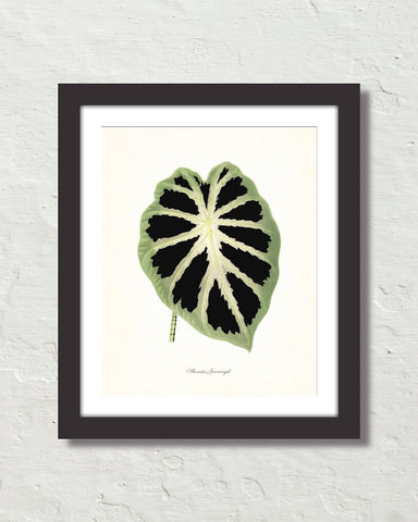 Vintage Tropical Leaf Alocasia No. 7 Botanical Print