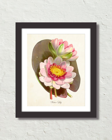 Vintage Water Lily Lotus Botanical Art Print