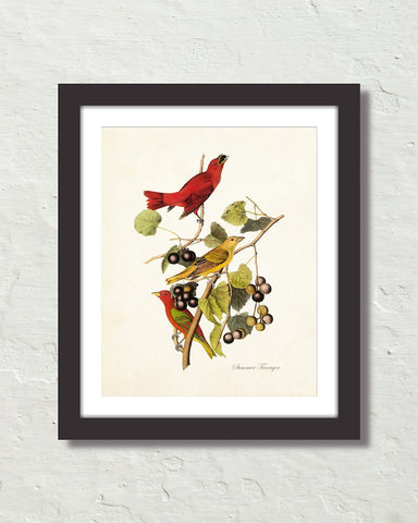 Vintage Audubon Summer Tanager Bird Art Print