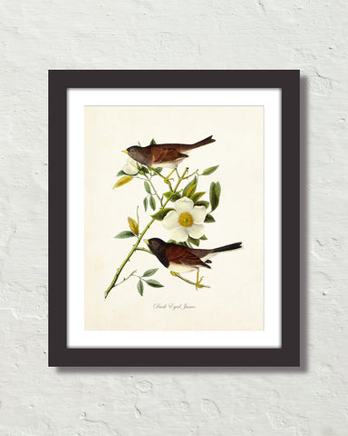 Vintage Audubon Dark Eyed Junco Bird Art Print