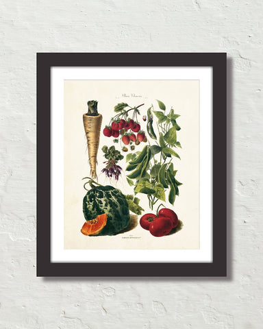 Antique French Vegetable No. 30 Botanical Print