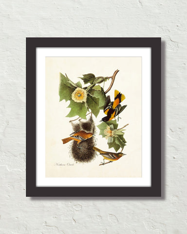 Vintage Audubon Northern Oriole Bird Art Print