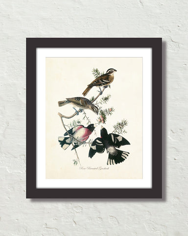 Vintage Audubon Rose Breasted Grosbeak Bird Art Print