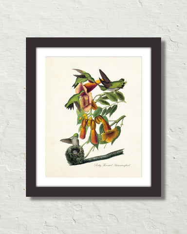 Vintage Audubon Ruby Throated Hummingbird Bird Art Print