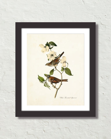 Vintage Audubon White Throated Sparrow Bird Art Print