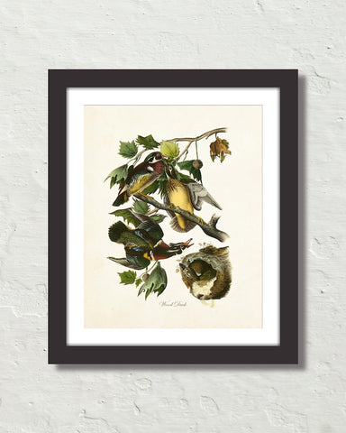 Vintage Audubon Wood Duck Art Print