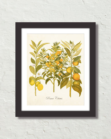 Vintage Citrus No. 23 Botanical Art Print