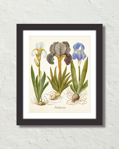 Vintage Iris No. 22 Botanical Art Print