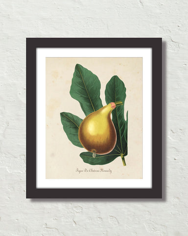 French Fig Botanical Art Print