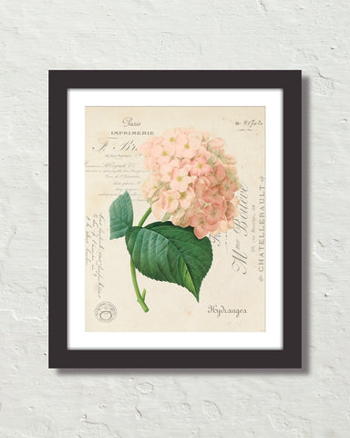 French Hydrangea Collage No. 64 Botanical Art Print