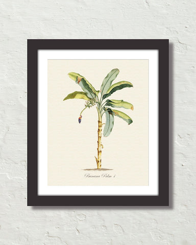 Vintage Tropical Banana Palm 1 Botanical Art Print