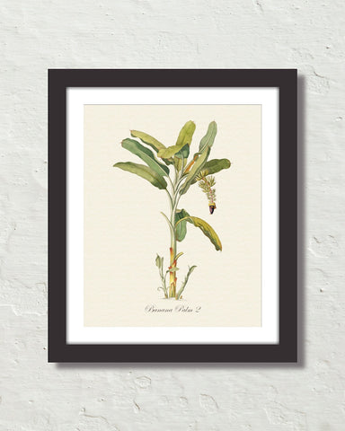 Vintage Tropical Banana Palm 2 Botanical Art Print