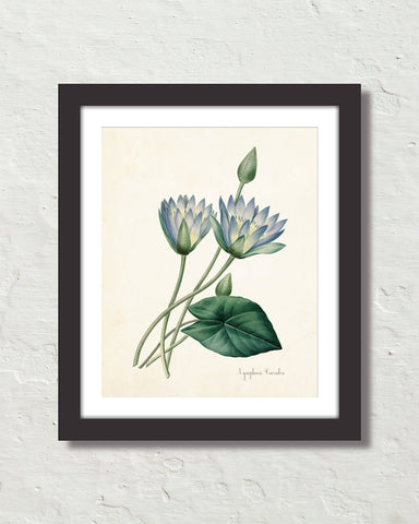 Blue Lotus Antique Botanical Art Print