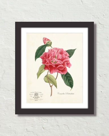 Vintage French Camelia Reticulata Botanical Art Print