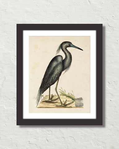 Vintage Sea Bird No. 16 Natural History Art Print