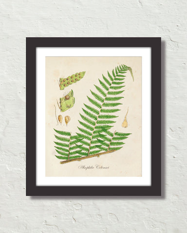 British Fern No. 1 Botanical Art Print