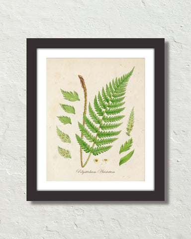 British Fern No. 2 Botanical Art Print